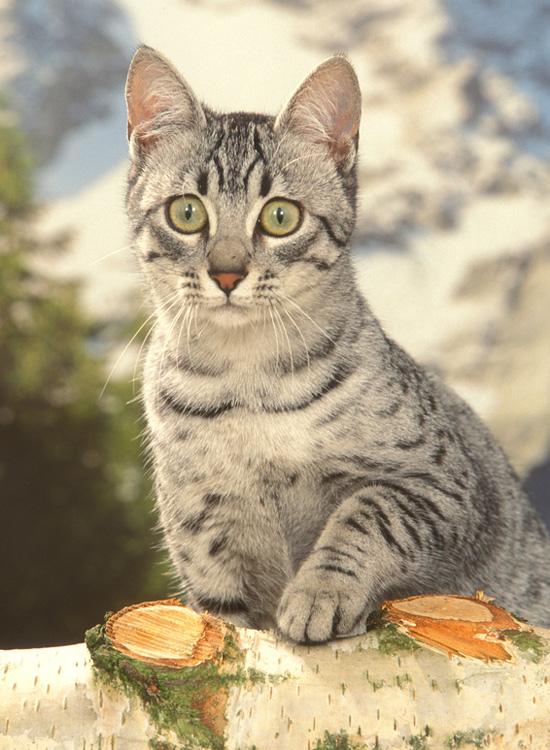 Ägyptische Mau | Katze | Wesen und Eigenschaften