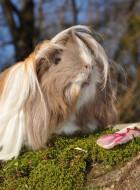 Angorameerschweinchen