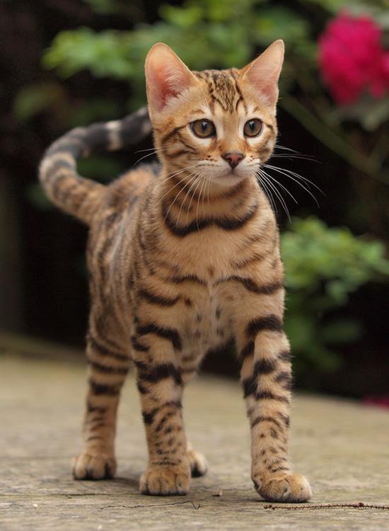 Bengal | Katze | Wesen und Eigenschaften