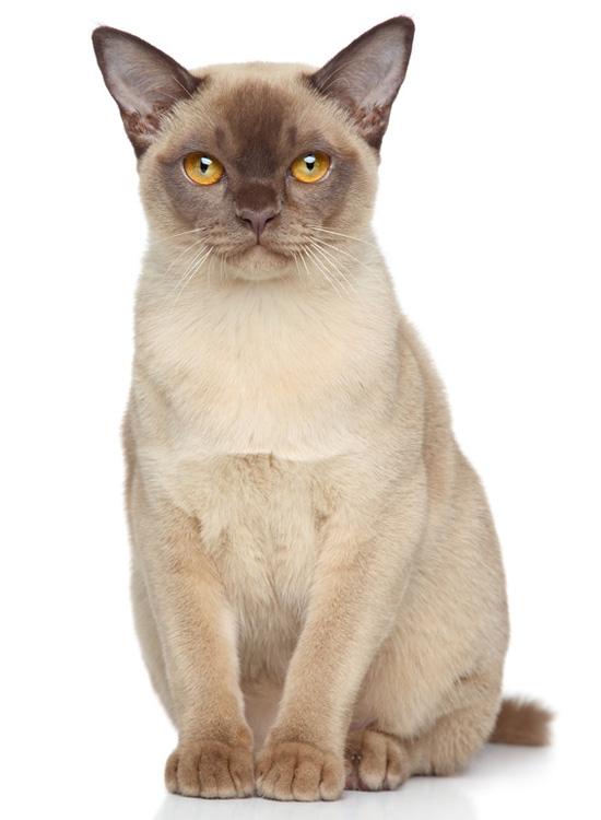 Burma | Katze | Wesen und Eigenschaften
