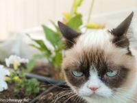 Der Hype um Grumpy Cat