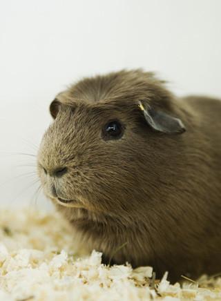Kurzhaarmeerschweinchen