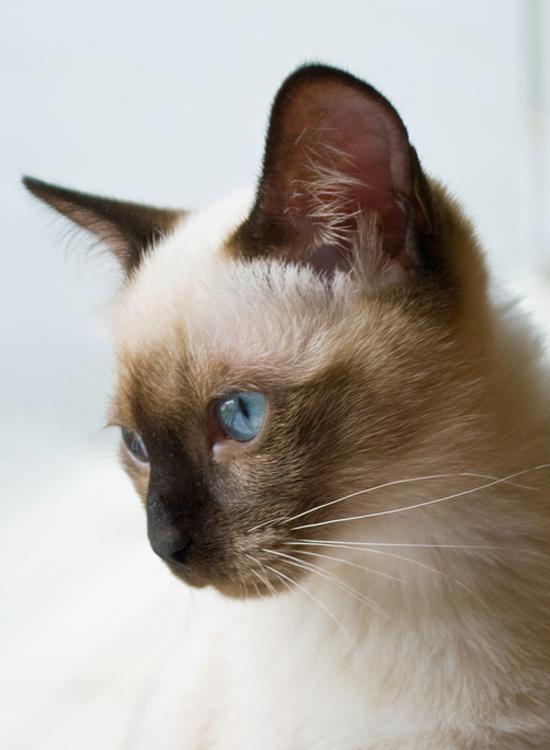 Mekong Bobtail | Katze | Wesen und Eigenschaften