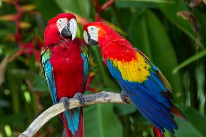 Papageienhandel gefährdet weltweiten Bestand