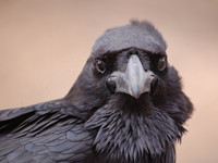 Die intelligentesten Vertreter der Vogelwelt
