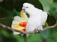 Seltene Kakadus in höchster Gefahr